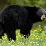 Black_bear_BM1T2D_3047647b