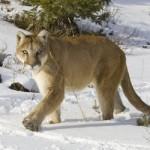Cougar-01-0