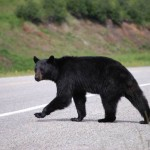 black-bear-crossing-the-road-watson-lake
