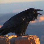 common_raven_calling_nps