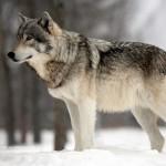 wolf_vorschau